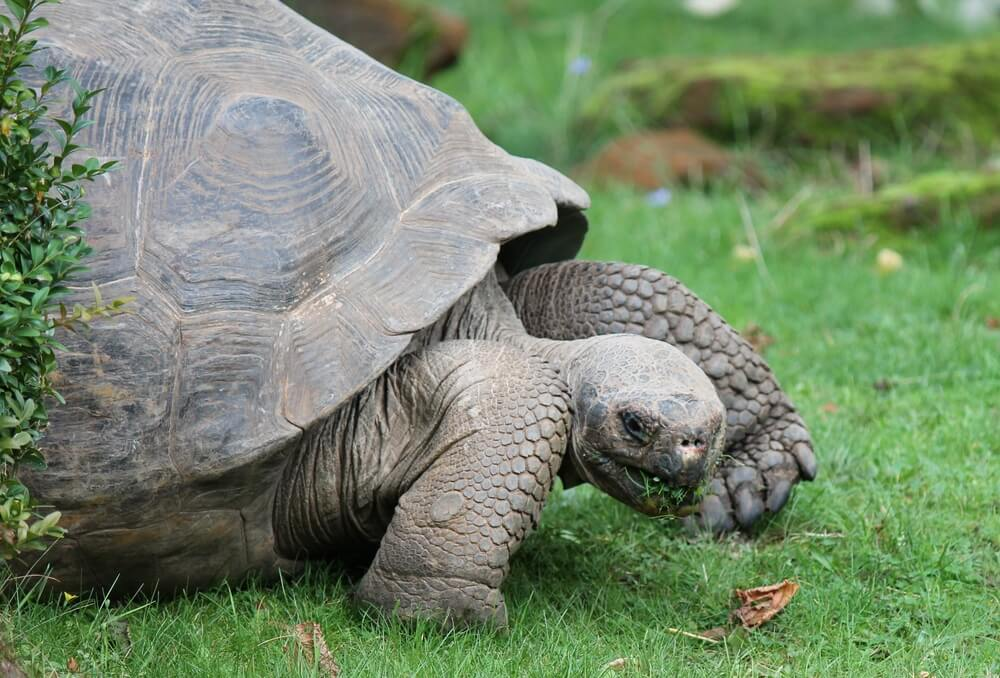 Giant Galapagos tortoise eating grass London zoo