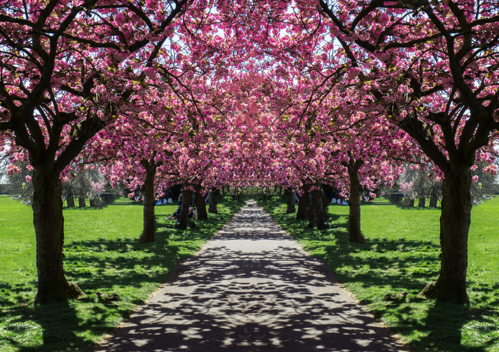 Cherry Blossoms in Greenwich Park, London